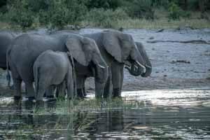 Afrika Erfahren, Namibia Rundreise Mietwagen Caprivi, Elefanten trinken