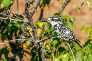 Afrika Erfahren, Namibia Rundreise Mietwagen Caprivi, Pied Kingfisher