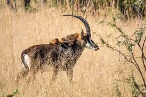 Afrika Erfahren, Namibia Rundreise Mietwagen Caprivi, Rappenantilope