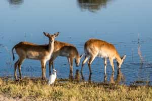 Afrika Erfahren, Namibia Rundreise Mietwagen Caprivi, Moorantilope (Red Lechwe)