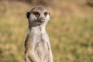 Afrika Erfahren, Botswana, Mietwagenreise, Erdmännchen