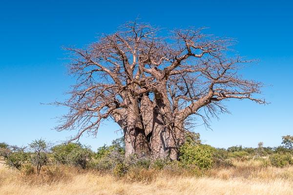 Afrika Erfahren, Botswana, Mietwagen, Baobab in Makgadikgadi Pans