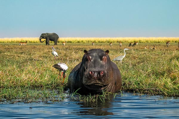 Afrika Erfahren, Botswana, Selbstfahrer, Flusspferd