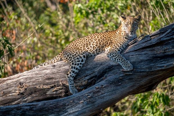 Afrika Erfahren, Botswana, Selbstfahrer Rundreise, Leopard