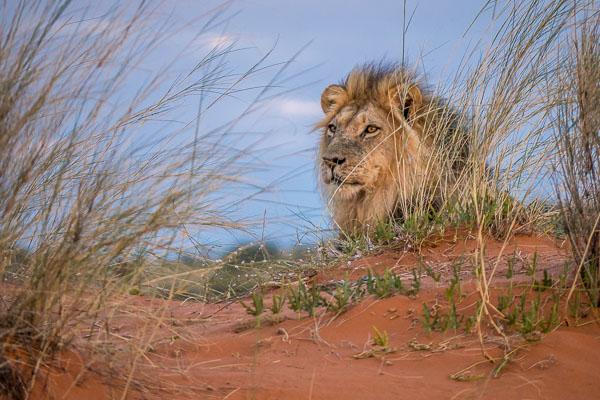 Afrika Erfahren, Namibia, Mietwagen, Löwe
