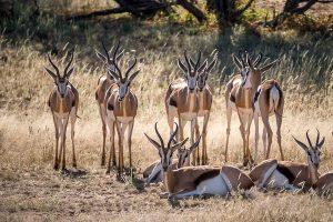 Afrika Erfahren, Namibia, Mietwagen, Springbock
