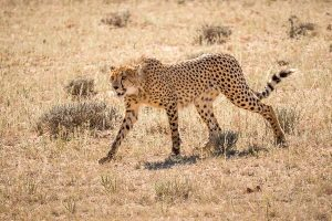 Afrika Erfahren, Namibia, Selbstfahrer, Gepard