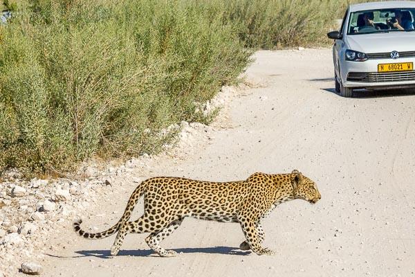 Afrika Erfahren, Namibia, Selbstfahrer Rundreise, Leopard
