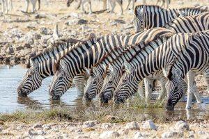 Afrika Erfahren, Namibia, Selbstfahrerreise, Zebras