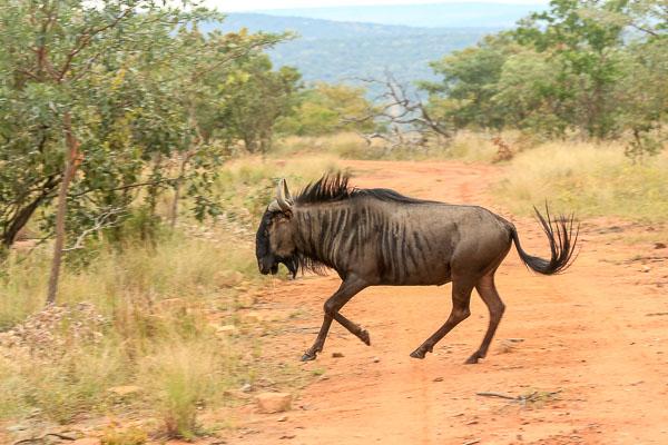 Afrika Erfahren, Südafrika, Mietwagenreise, Gnu