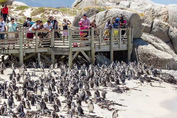 Afrika Erfahren, Südafrika, Gadren Route Selbstfahrer, Pinguine