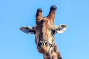 Afrika Erfahren, Südafrika, Selbstfahrer Rundreise, Giraffe