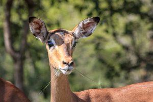 Afrika Erfahren, Südafrika, Selbstfahrer Rundreise, Impala