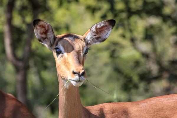 Afrika Erfahren, Südafrika, Garden Route, Selbstfahrer Rundreise, Impala