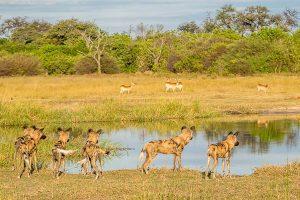 Afrika Erfahren, Südafrika, Selbstfahrer, Wildhunde