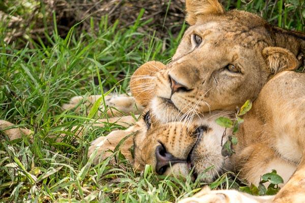 Afrika Erfahren, Südafrika, Selbstfahrerreise, Löwen