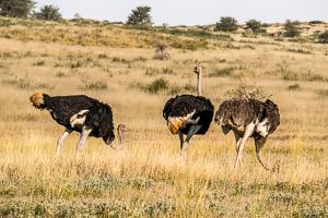 Afrika Erfahren, Windhoek nach Kapstadt, Kgalagadi Nationalpark, Strausse