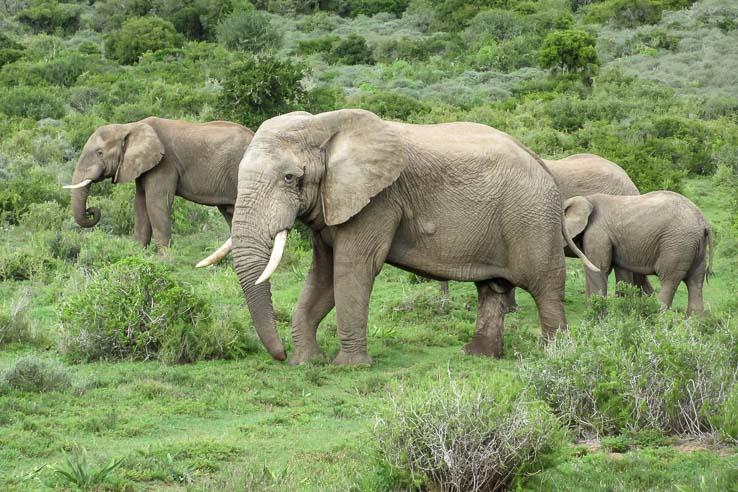 Afrika Erfahren, Addo Nationalpark, Elefanten