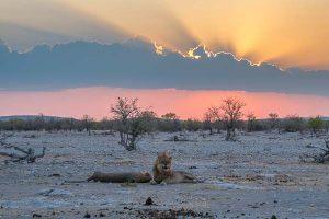 Selbstfahrer Namibia Corona, Etosha, Löwe, Sonnenuntergang