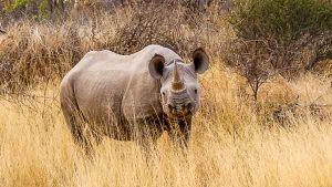 Selbstfahrer Namibia Corona, Etosha, Nashorn