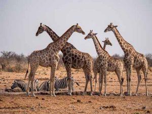 Selbstfahrer Namibia Corona, Etosha, Giraffe