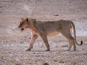 Selbstfahrer Namibia Corona, Etosha, Löwe, Afrika Erfahren