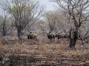 Selbstfahrer Namibia Corona, Etosha, Tiere, Brand, Gnu