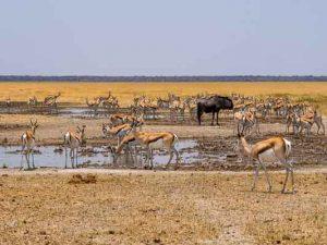 Selbstfahrer Namibia Corona, Etosha, Tiere, Wimmelbild, Impala