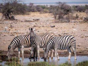 Selbstfahrer Namibia Corona, Etosha, Zebra