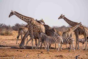 Namibia, Rundreise, Selbstfahrer, Corona Zeiten, Giraffen, Zebras