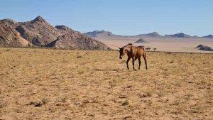 Namibia Mietwagen Rundreise Selbstfahrer, Corona, Desert Horse, Wüstenpferd