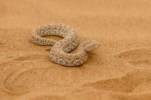 Namibia Selbstfahrer Rundreise Corona, Wüste, Living Desert Tour, Swakopmund, Schlange
