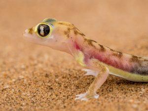 Namibia Selbstfahrer Rundreise Corona, Wüste, Living Desert Tour, Swakopmund, Palmato Gecko
