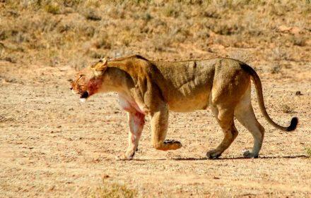 Löwe, Kgalagadi Transfrontier Park